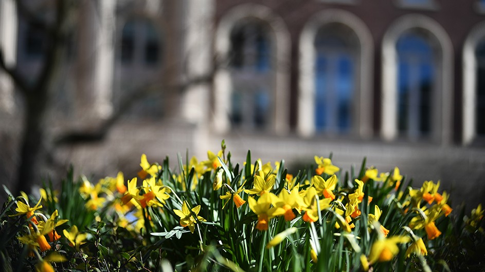 Daffodils blooming outside in front of a building