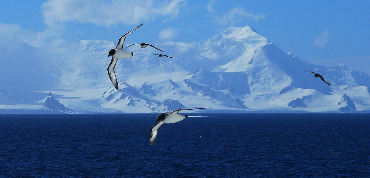 Three seagulls fly over any ice blue ocean with white icebergs in the background.