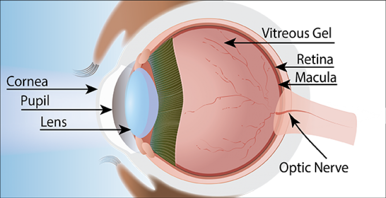 An illustration of the human eye shows the structural elements from the outermost layer backward to the optic nerve: cornea, pupil. lens, vitreous gel, retina, macula, optic nerve