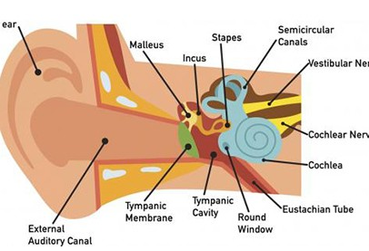 ear with arrows pointing to many different canals and parts